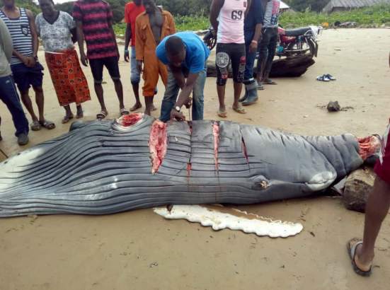 Baby whale butchered